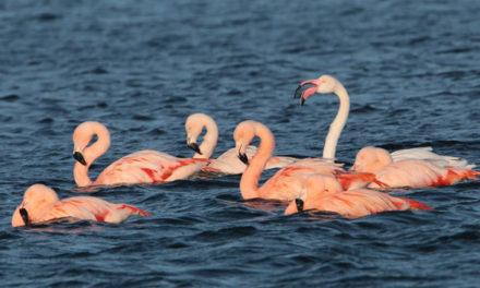 Flamingo's gespot