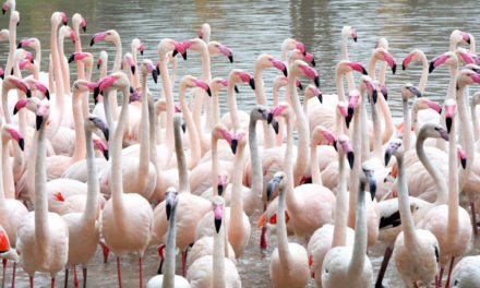 Tropische flamingo's in Limburg