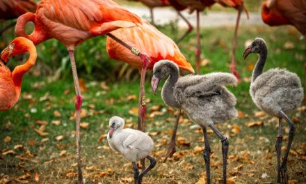 Uniek recordaantal flamingokuikens